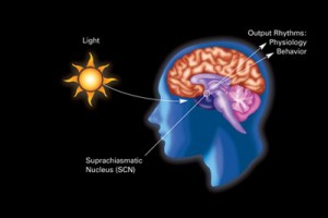 circadian rhythm labelled