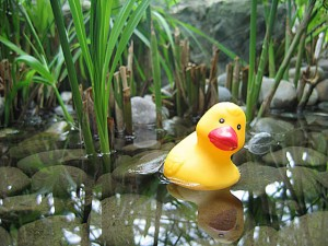 rubber duck in a rucky pond with plants